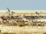 Herds of antelope, zebras and other animals move across a dry African plain, dust rising
