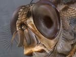 very close up of fly's head, brown, spiky, screen-like eyes