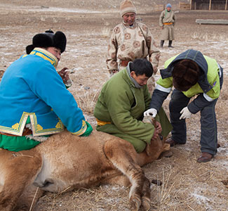 Mongolian herders in a field restrain animal on the group for inspection.