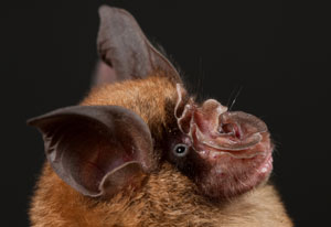 Close up photo of profile of face of horseshoe bat, has brown fur, large dark ears and complex nose with many folds of skin