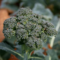 Close up of head of broccoli plant