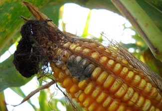 Close up in a sunny field of ear of corn with mold growing near the tip
