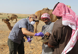 Researcher in mask collects sample from camel while others help restrain it in a large field, other camels in background.