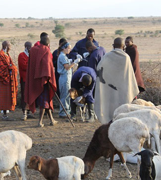 Many people in a field among a herd of goats, one person restrains and examines a goat.