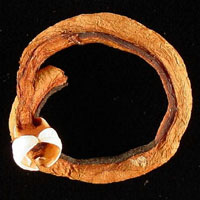 Brown, shriveled shipworm looped into a circular shape on black background