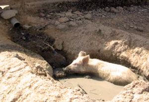 Pig walks in trench full of sewage