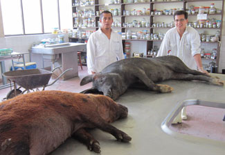 Two large pigs lying on counter in lab, two male researchers in white coats stand behind the pigs