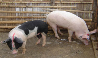 two large pigs graze packed dirt floor of wooden pen