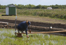 Researcher in flooded rice field squats on plank to collect water sample