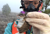 Researcher wearing protective face mask and gloves holds small brown rodent up to the camera