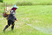 Worker wearing hat and wrap over face sprays large green field with pesticide carried in a tank on their back.