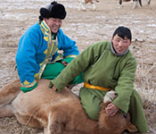 Photo courtesy of Dr. Gregory Gray. Mongolian herders in a field restrain animal on the group for inspection.