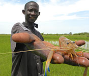 Photo courtesy of Upstream Alliance. Person holds large river prawn up to camera for close up, lush green river bank in the background.
