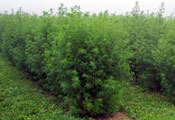 Photo by Jorge Ferreira via Wikimedia Commons. Green, leafy Qinghao plants, Artemisia annua L, grow in rows.