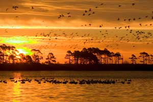 Hundreds of birds float on water and fly over water, sunset and shoreline with trees behind
