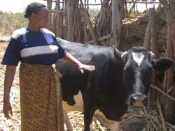 Photo: Woman in wrap skirt uses her hand to guide black and white cow in front of a stick hut