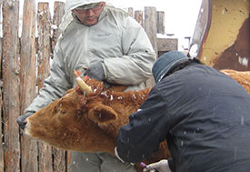 Photo courtesy of Dr. Gregory Gray. Researchers collects samples from a cow outdoors.