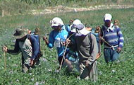 Men walk through crop field spraying pesticides on crops with hand-held sprayers